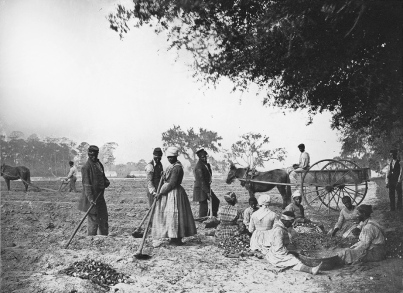 james_hopkinsons_plantation_slaves_planting_sweet_potatoes
